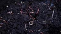 Vers de terre compost