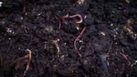 Group Of Earthworms A