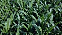 Vue de dessus du champ de maïs