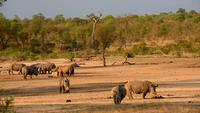 Rhinos at a waterhole during sundown