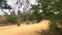 Elephants herd marching towards waterhole
