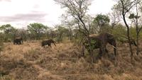 Elephants grazing in the savannah