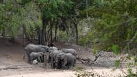 African Elephants Drinking Water
