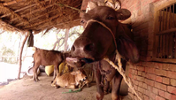 Indian Cattle Chewing