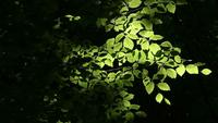 Green Tree Foliage In The Sunlight