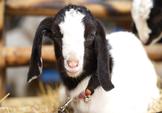 Uma cabra do bebê em um palheiro