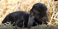 A Black Baby Goat On The Haystack