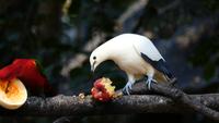 Aves comiendo frutas en un árbol