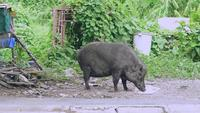 Large Boar Eating