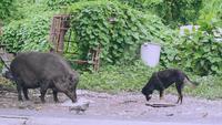 Jabalí grande comiendo con otros animales