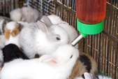 Bunnies Drinking Water