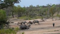 Rhinos, warthogs and gnus drinking together