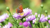 Borboleta em flores de verão Close-Up