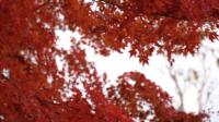 Folhas de bordo vermelho