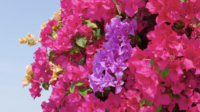 Vacker Bougainvillea Flower
