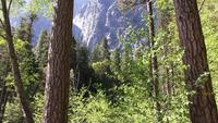 A Forest in the Floor of Yosemite Valley