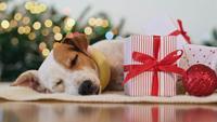 Hunden sover runt juldekorationer
