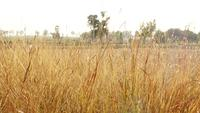 Trockenes goldenes Gras auf dem Gebiet
