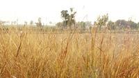 Hierba dorada seca en el campo