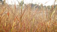 Herbe d'or sec dans le champ