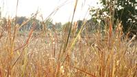 Capim dourado seco no campo