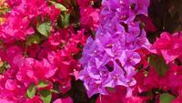 Flor de buganvilla rosa
