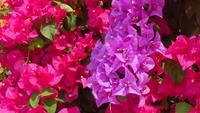 Rosa Bougainvillea blomma