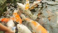 Koi Fish Being Fed