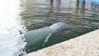 Golfinho branco nadando em uma lagoa
