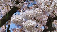 Japansk körsbärsblomning