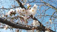 Flor de cerejeira japonesa