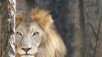 Ett lejon som stirrar