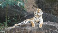 Un tigre sur les rochers