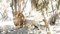 Un león debajo de la sombra