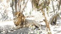 A Lion Under The Shade