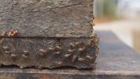 Termites marchant en rangées