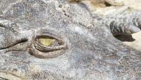 El ojo de un cocodrilo