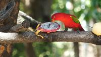 Röd papegoja som äter en Pitaya