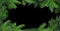 Ramas verdes del fondo del árbol de pino