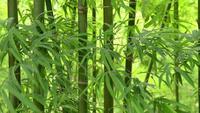 Hojas de bambú temblando