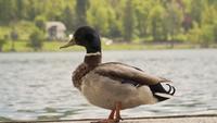 Majestätisk anka som står nära sjön i naturskönt område