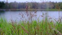 Feche acima das flores do campo de grama no fundo da natureza do lago
