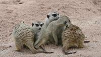 Meerkat family living together
