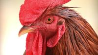 Close Up On A Rooster's Face