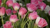 Flor de tulipán rosa y blanco