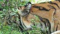 Tigre comiendo vegetación