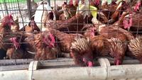 Pollos comiendo en una granja