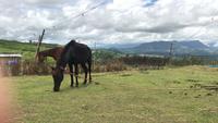 Två vackra hästar som äter gräs