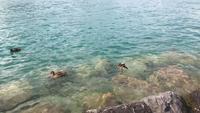 Vue supérieure de canards nageant dans un lac d'eau cristalline