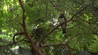 Le pigeon Kereru